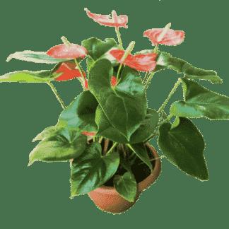 עציץ צמח פורח